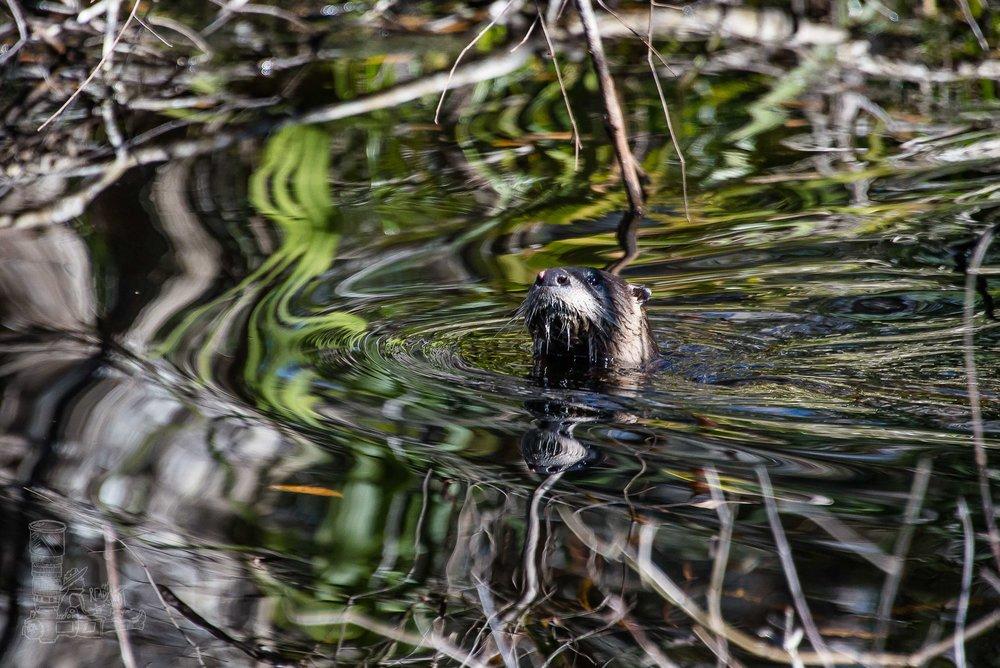 The Otter.jpg