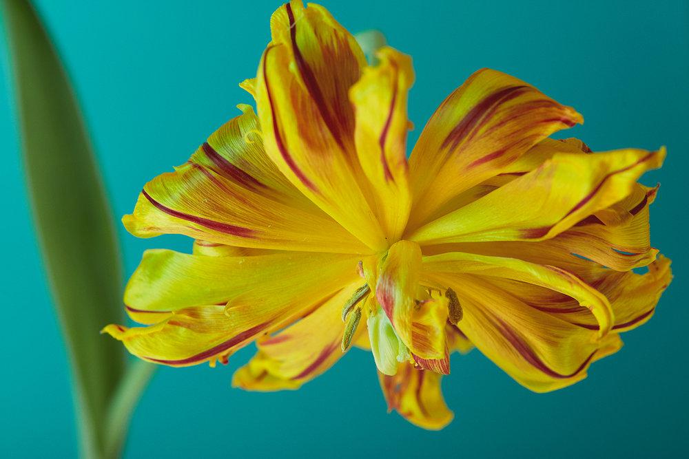 Tulip 001 17.jpg