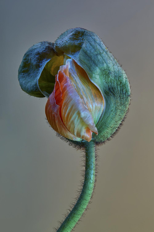 Poppy _1web.jpg