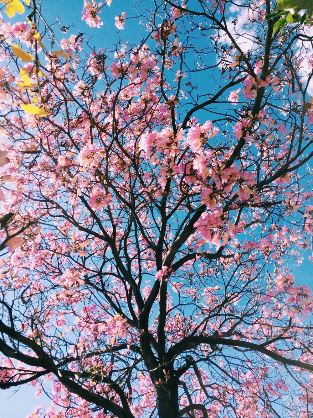 cherryblossom unsplash.jpg
