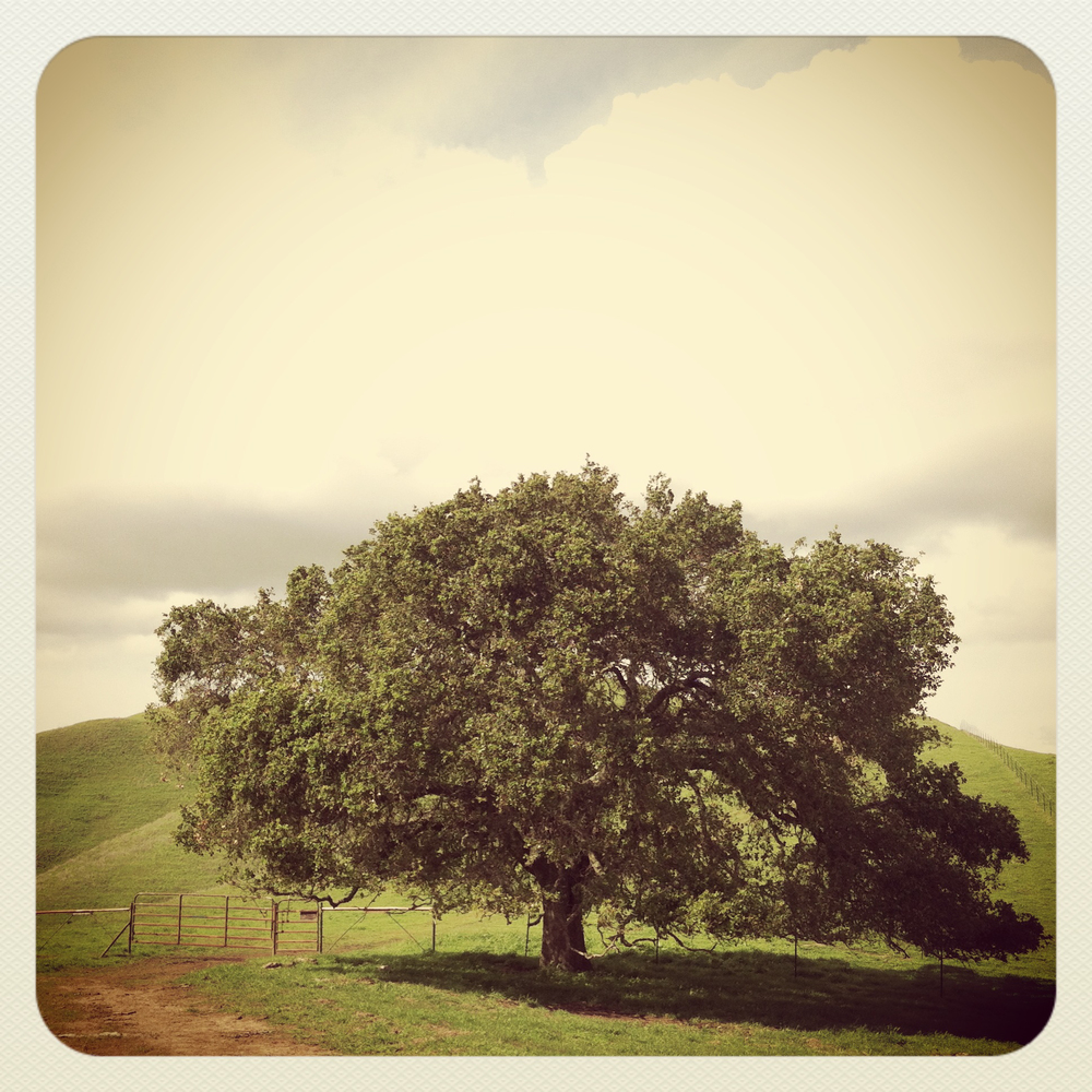 An oak tree on a hike in the east bay hills.