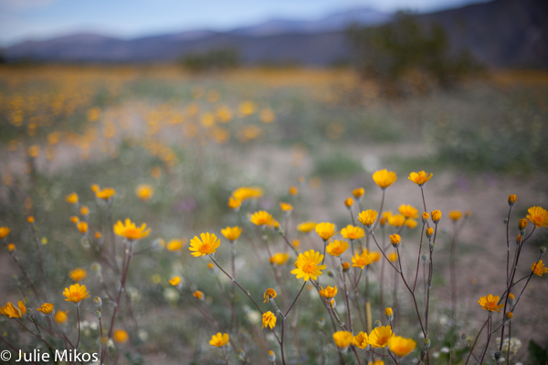 Anza Borrego super bloom 2017