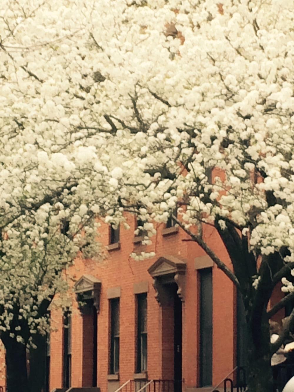 pear blossoms .jpg