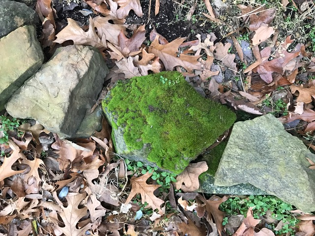 This mossy stone is in front of my Mom and Dad's house in Missouri. It looks like there's hidden treasure underneath it. And why is he the only guy growing moss?
