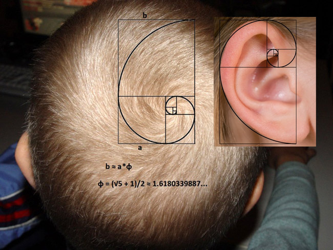 fibonacci-hair-ear.jpg