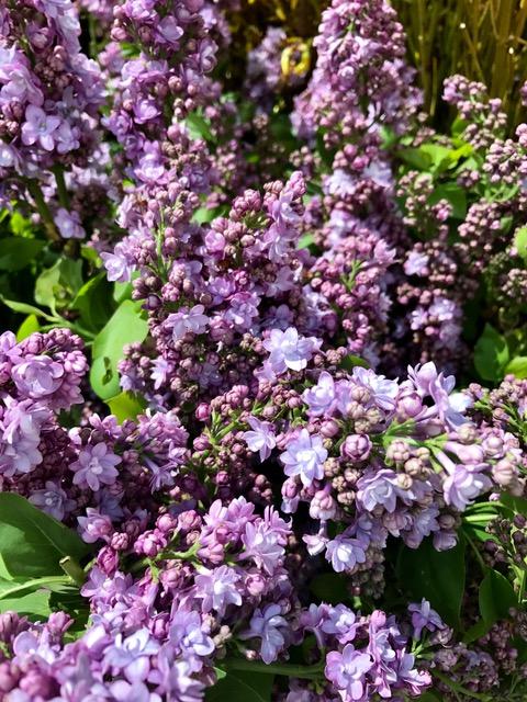 lilacs1.jpg