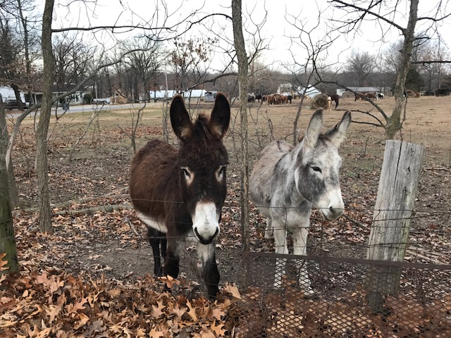 Donkeys in the neighboring pasture next to my parents. These guys are most definitely fenced in!