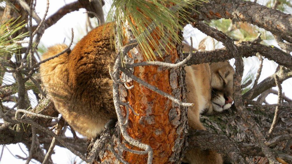 mountain lion butt.jpg