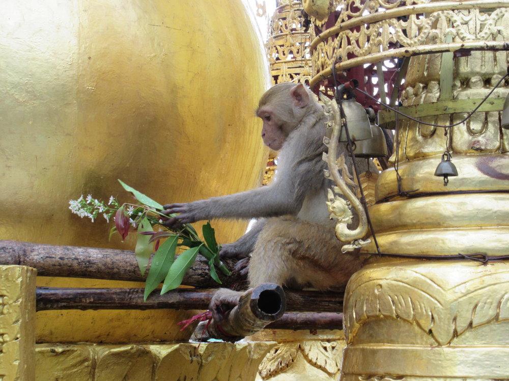 Monkeys. Monkeys everywhere. Monkeys that can bite you. Beware of the monkeys on Mount Popa near Bagan.