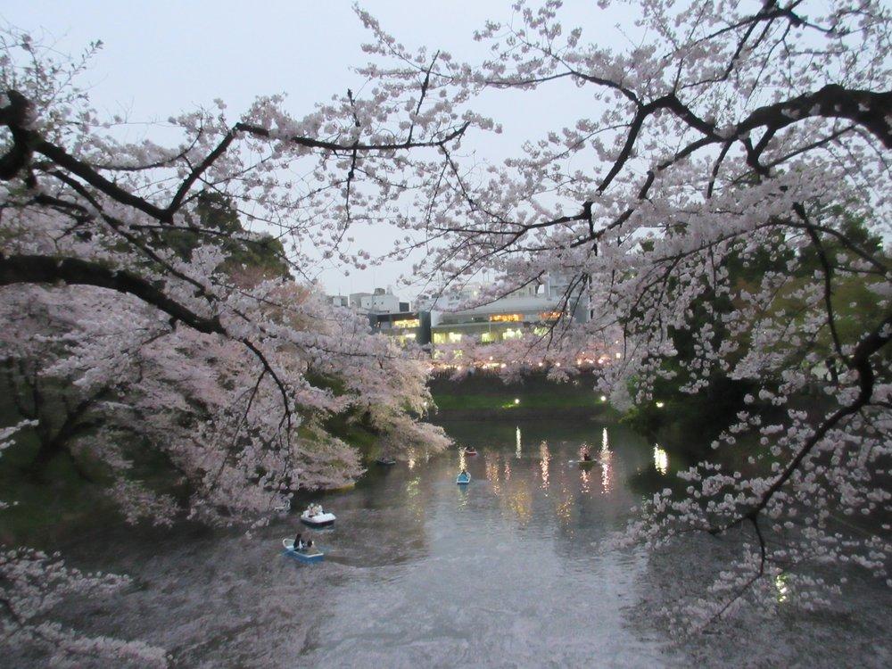 Sakura season!