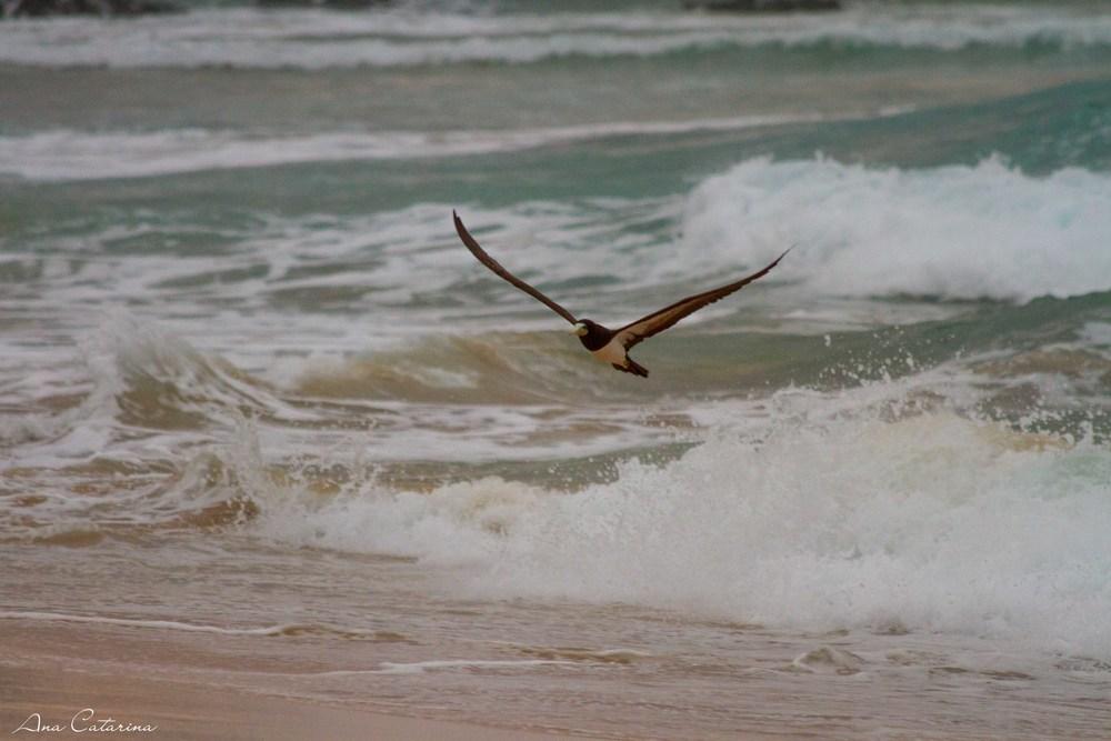 Voa, liberdade! Atobá feliz da vida com a pança cheia, após a pesca!