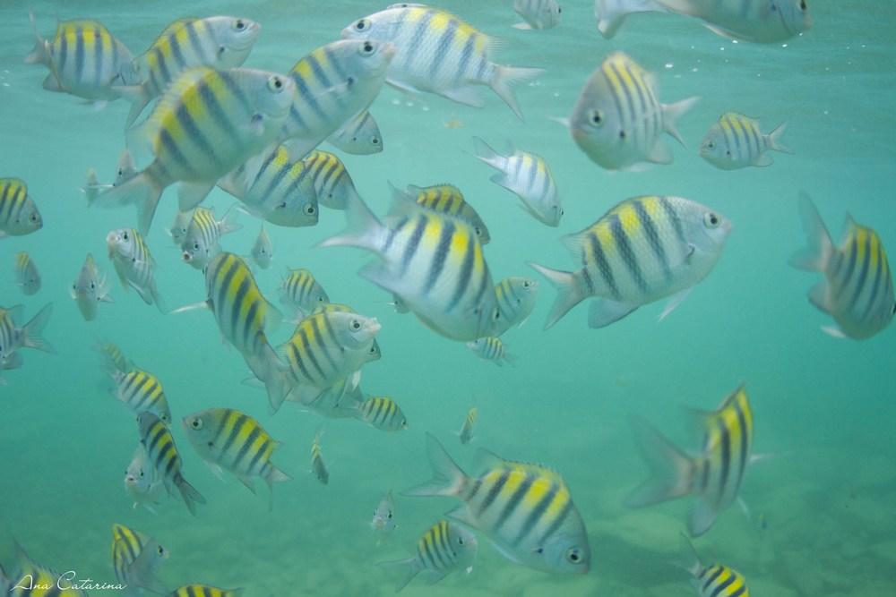 Sargentinho, o peixe mais visto em todas as praias da ilha!