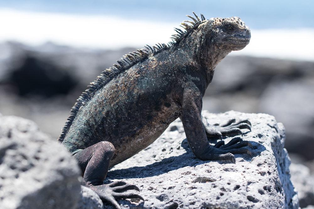 Iguanas, animais predominantes em Santa Cruz. Foi uma das responsáveis pela percepção de Darwin a respeito da Teoria da Evolução, uma vez que em Galápagos é o único local onde as iguanas nadam, pois tiveram que se adaptar para buscar alimentos.
