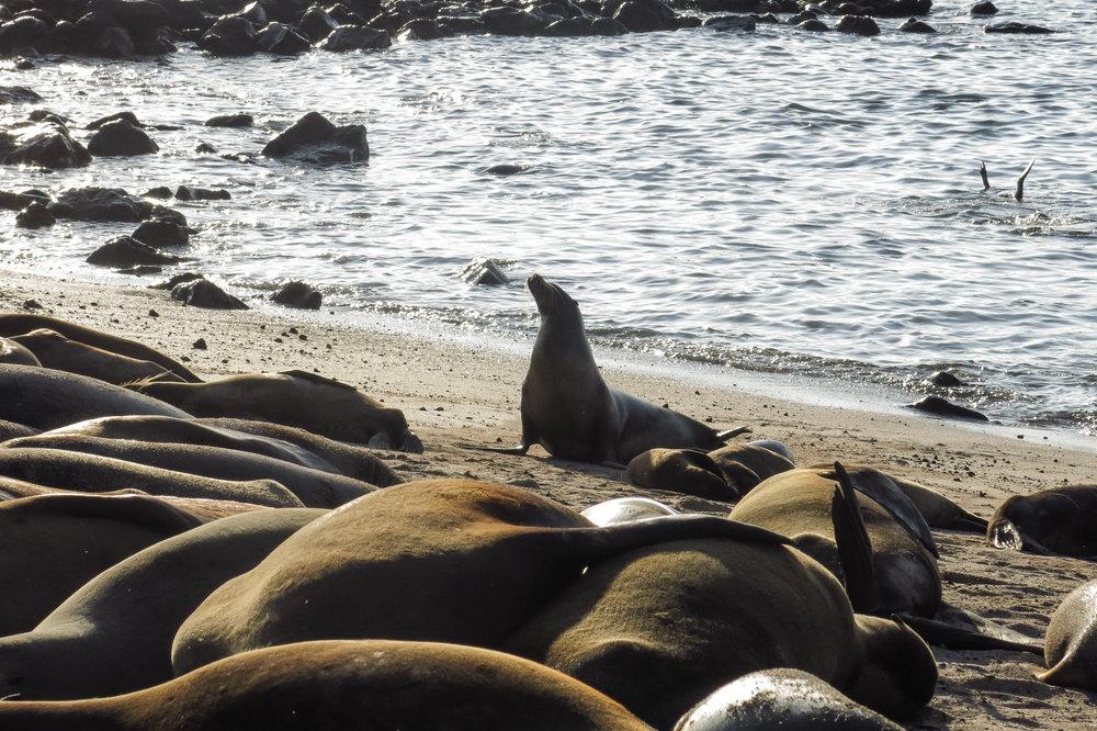Milhões de lobos marinhos na entrada de San Cristóbal!