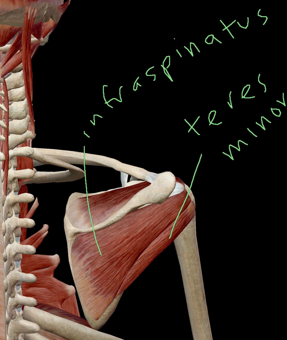 Infraspinatus and Teres Minor Posterior View pt.2