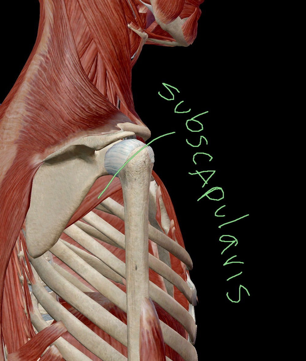 Subscapularis Posterior Lateral View
