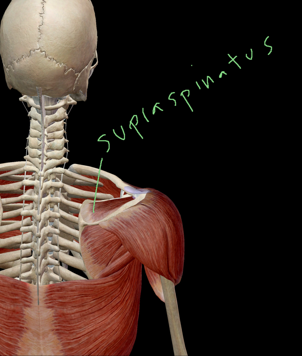 Supraspinatus - The Rotator Cuff Muscle You Tore — Victory ...