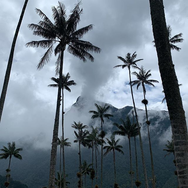 Loved those wax palms! Kind of like fireworks rooted in the ground.  Cocora Valley, Colombia #hikingadventures #colombia🇨🇴