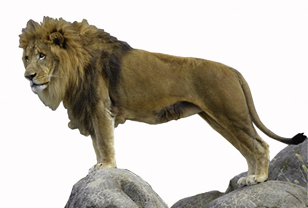 16. African Lion.jpg