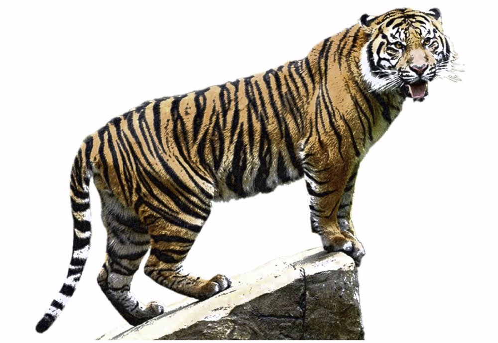Sumatran Tiger Male 1.jpg