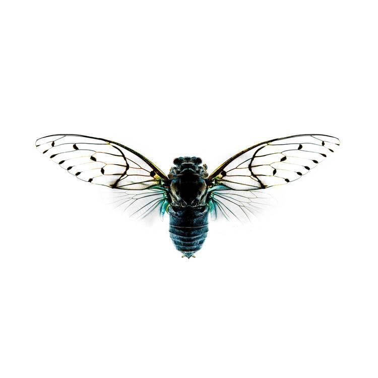 Cicada-I_1500.jpg