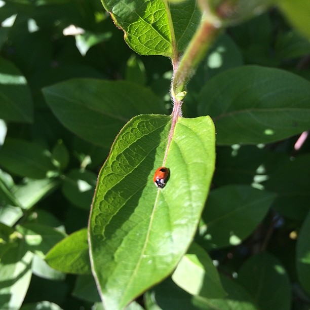 The first ladybird of Spring