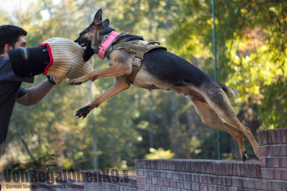 A Trained K9 and my former breeding female catching a bite at home in a training scenario.