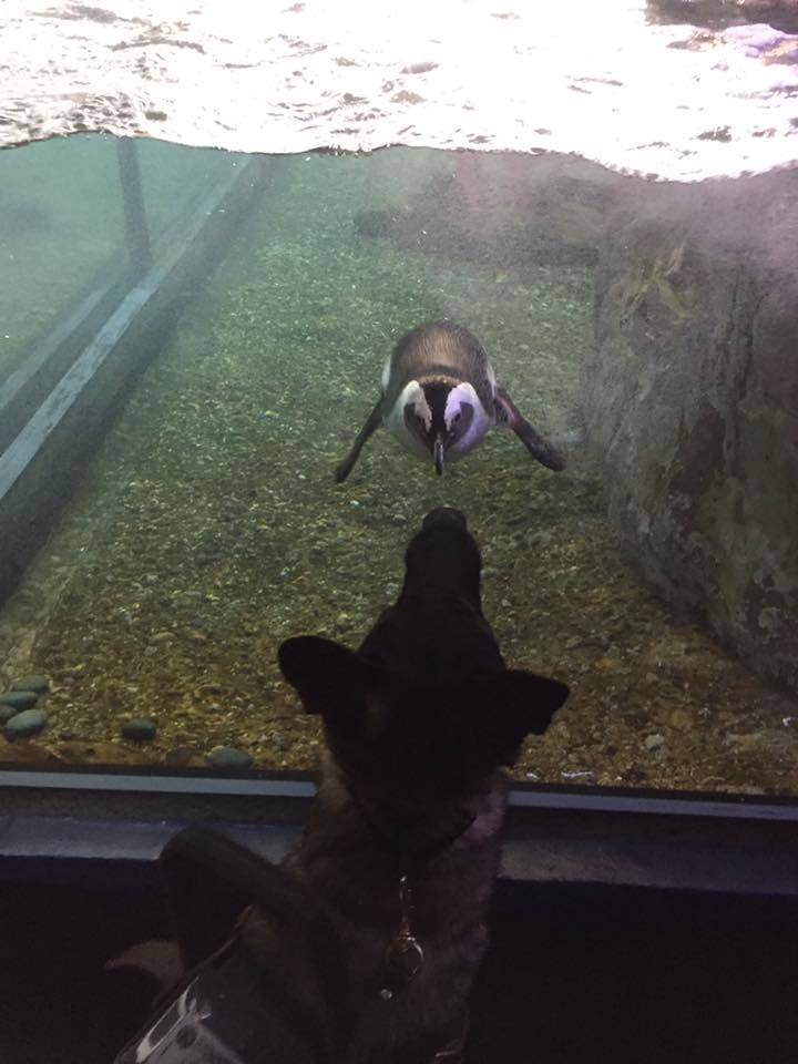 Karma at the Audubon Aquarium of the Americas. I showed her some of the animals to test how interested she would be in them. She was completely neutral but did offer the penguin a sniff.