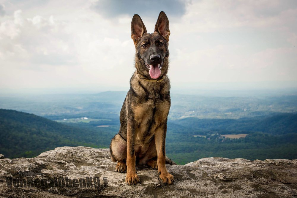 Karma as a puppy on Hanging Rock at Hanging Rock State Park.