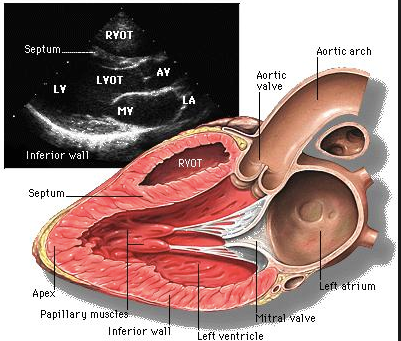 echocardiography_-_Google_Search.png