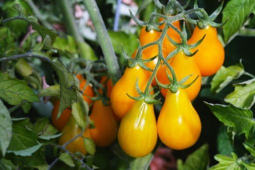 Yellow-Pear-Tomatoes