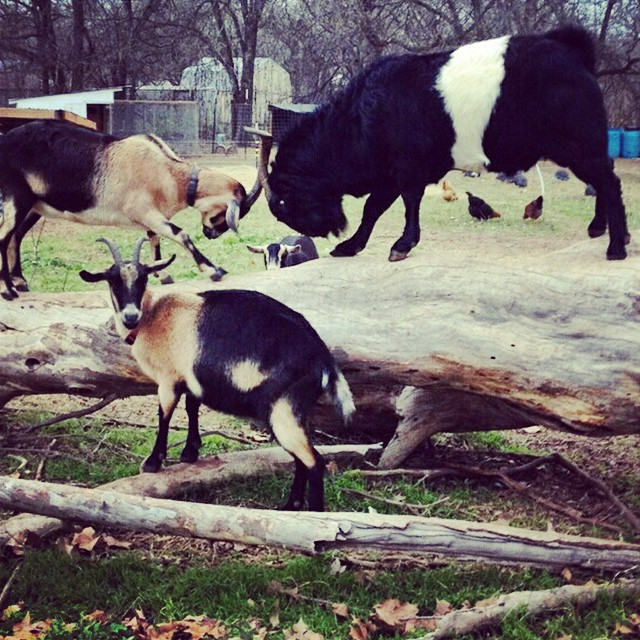 goat fam