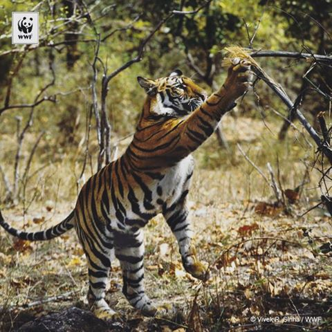 Tigers scratch trees as a way to mark their territory! #tigerheroes