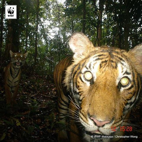 There are only around 250 Malayan #tigers left in the wild. Save tigers. Be a #TigerHero.
