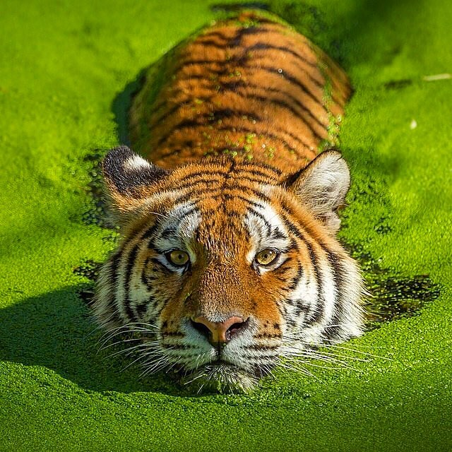 Tigers almost never have their heads under water, because they don't like getting water in their eyes and nostrils. To avoid this, they typically get in the water backwards and keep their heads above water.  Water is actually the primary cooling device tigers use. Tigers like to submerge themselves in nearby lakes and streams, and sometimes stay in for an hour.