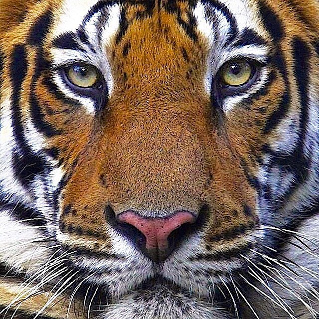 Tigers have eyes with round pupils, unlike domestic cats, which have slitted pupils. This is because domestic cats are nocturnal whereas tigers are crepuscular – they hunt primarily in the morning and evening.  #bigcatsforever @natgeo @wildaid @thephotosociety @natgeocreative @stevewinterphoto #photooftheday #photography#conservationphotography #love #tigers #cats #beautiful #follow #canon #wildaid #ivoryfree #eiainvestigator