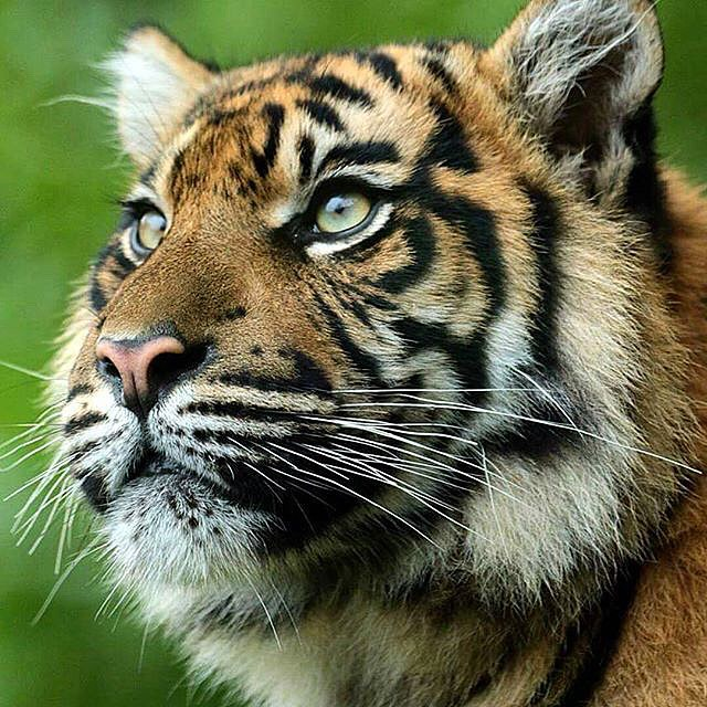 Tigers' short-term memory lasts about thirty times longer than #humans', and their #memories are #made with stronger #brain synapses, #meaning they can #remember more and don't forget things as easily as we do.