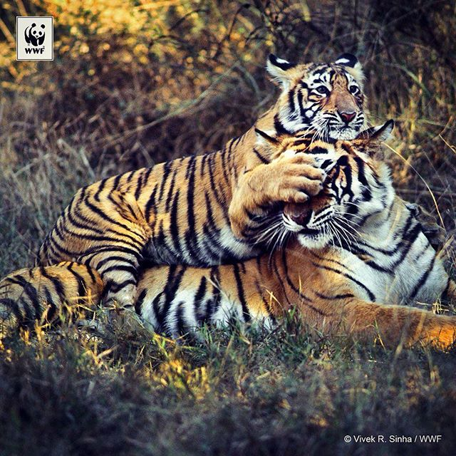 #tiger cubs stay with their mothers until they reach around 18 months of age. #tigerheroes #doubletigers #wwf