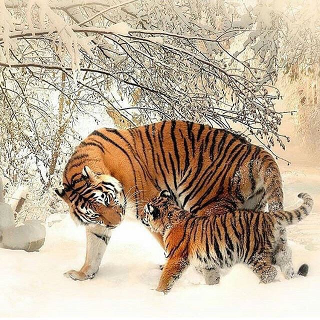 Tigers have been known to look out for each other. A male Bengal tiger raised and defended two orphaned female cubs after their mother had died of illness. The cubs remained under his care, he supplied them with food, protected & trained them.