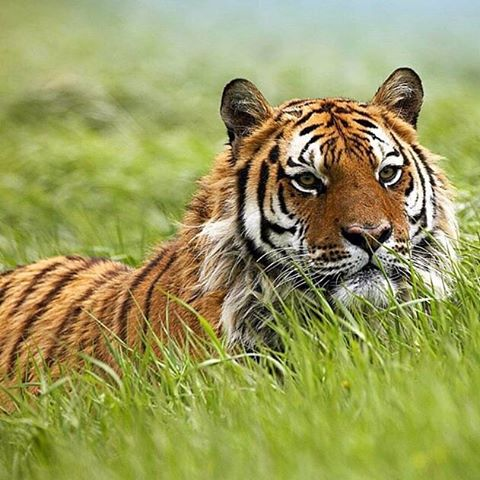 Tigers occupy a variety of habitats from tropical forests, evergreen forests, woodlands and mangrove swamps to grasslands, savannah and rocky country.