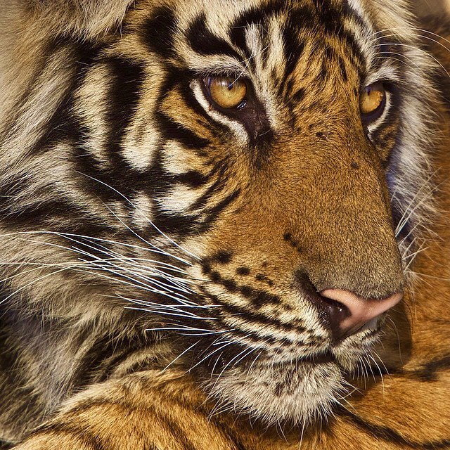 "Tigers have 5 different types of whiskers that detect sensory information. The mystacial whiskers are located on the tiger's muzzle (snout), they can reach 6"" long and are used when attacking prey and navigating in the dark. The tiger uses these whiskers to sense where they should inflict a bite"