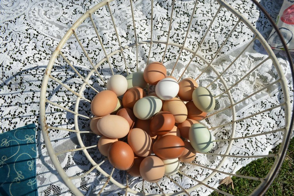 Multicolored pullet eggs from our newest flock of hens