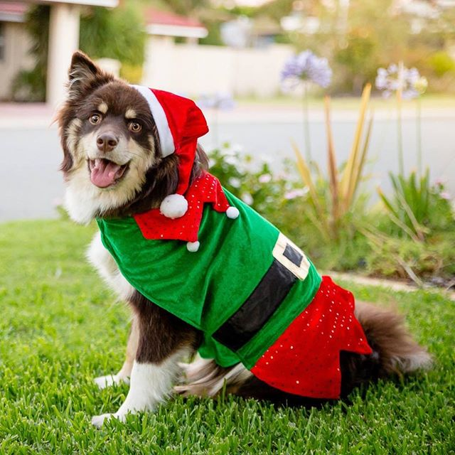 On behalf of SoP, our puppy Daisy would like to wish you all a very merry Christmas. Have a fabulous day everyone! 🎄🥂 🐶 @thehappylappy  #streetsofperth #perth #finnishlapphund #christmas #puppy #santapaws