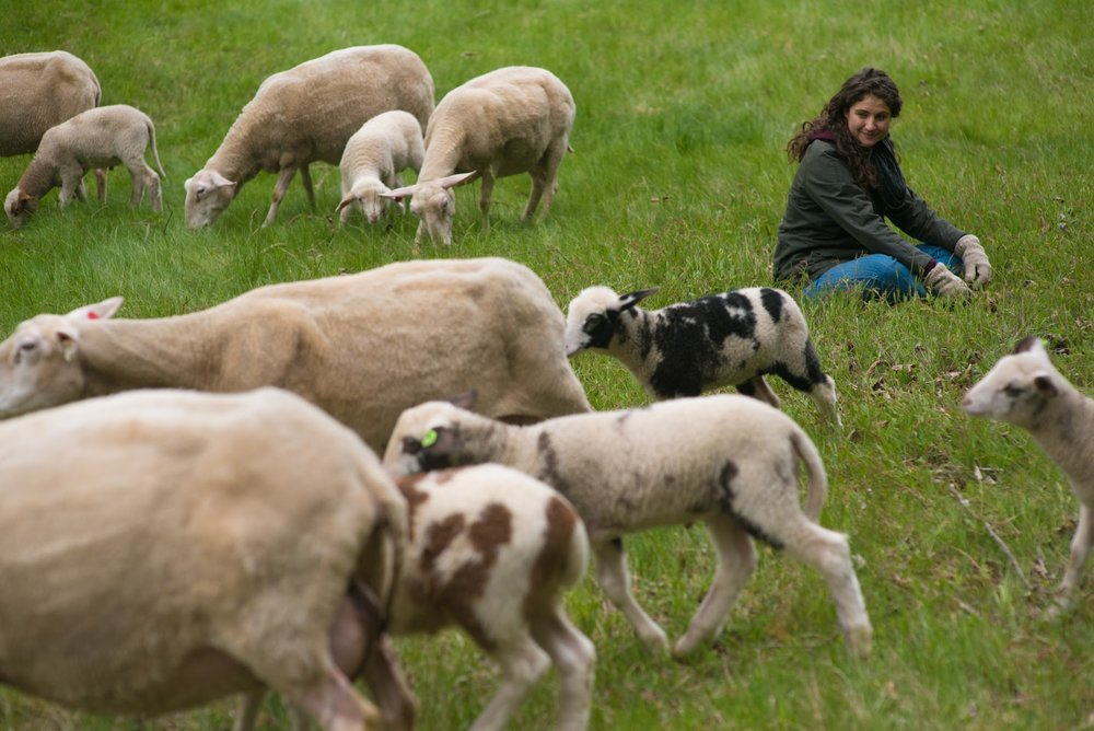 LILLOOET     SHEEP & CHEESERY