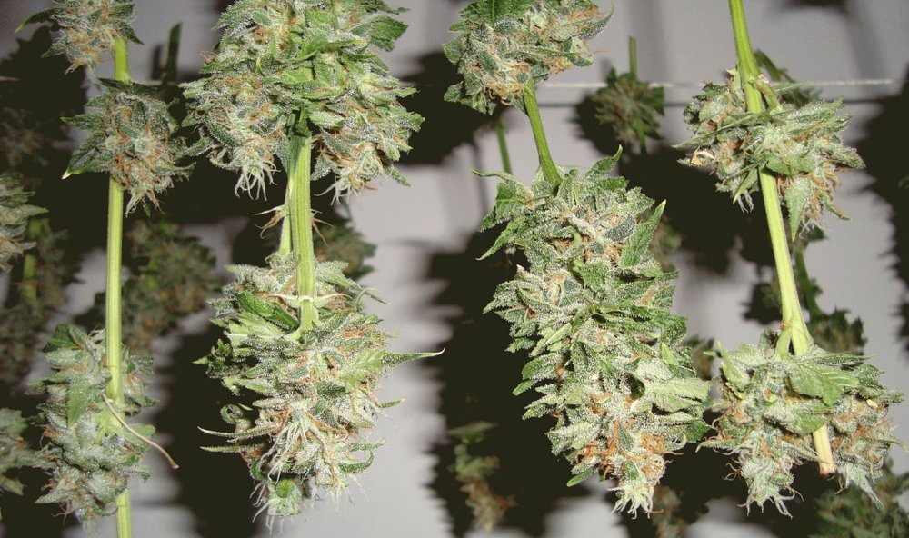master-kush-drying-buds-1132x670.jpg
