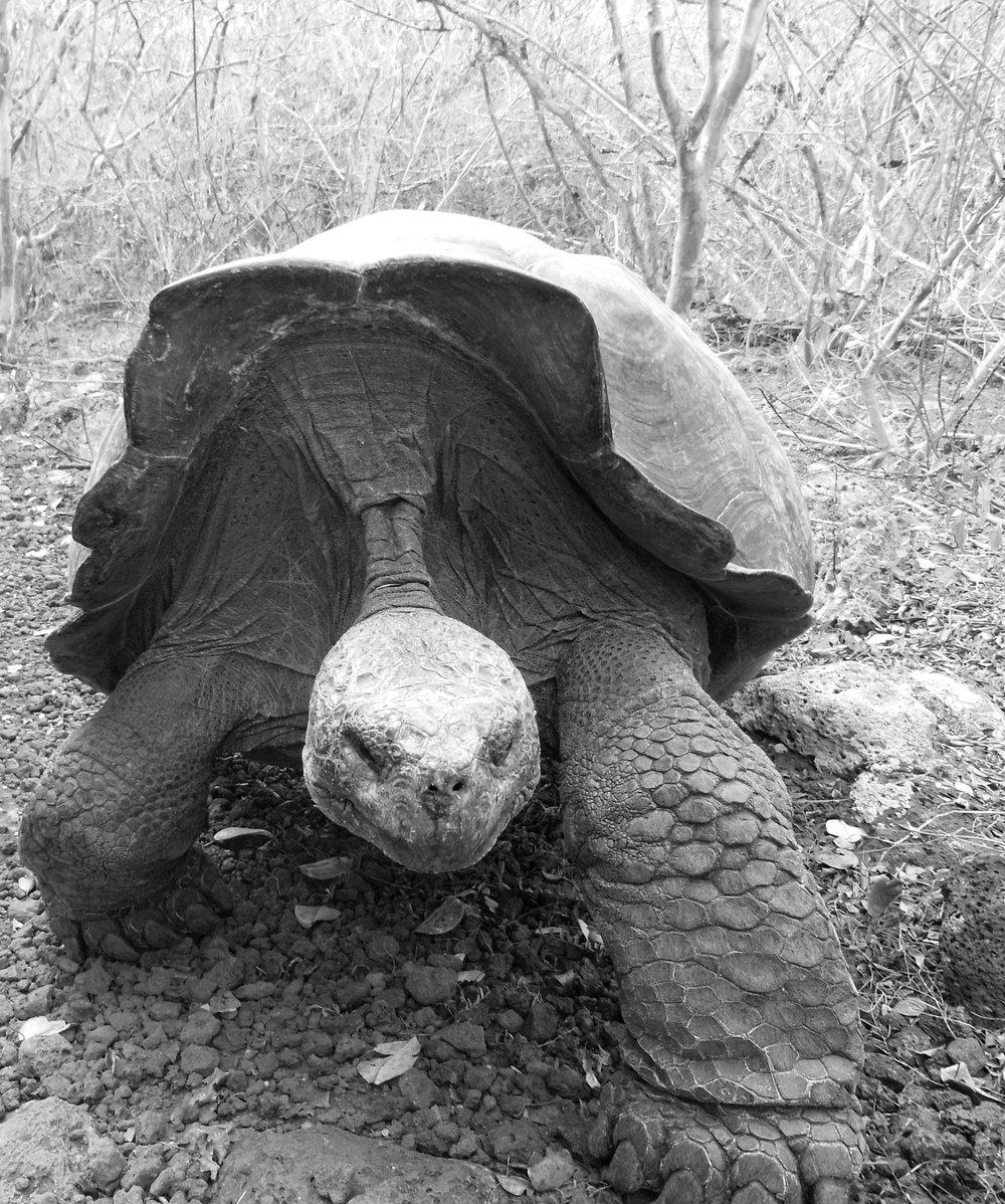Sprinting tortoise