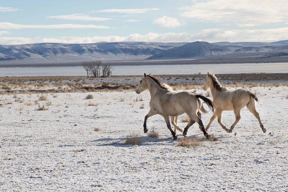 Wild Oregon Horses