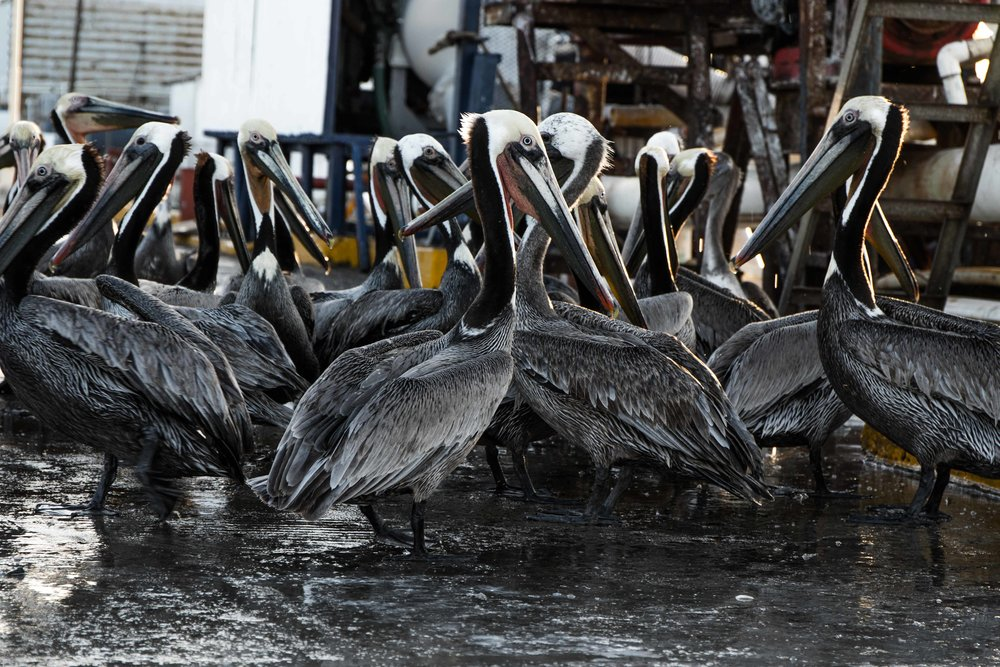 Pelican poachers