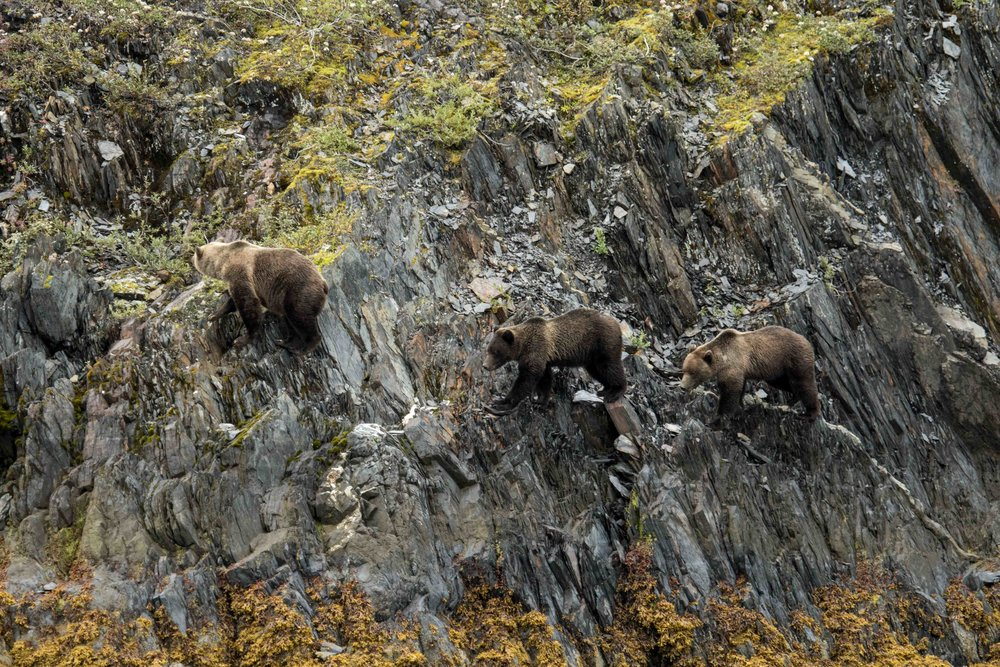Mama bear leads