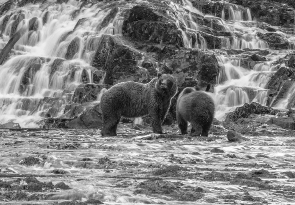 B&W Brown Bear